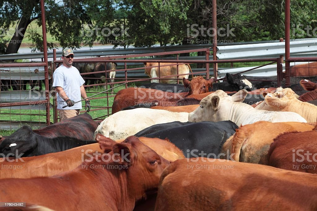 Agriculture: Man or rancher and Cattle in Farm Pen stock photo