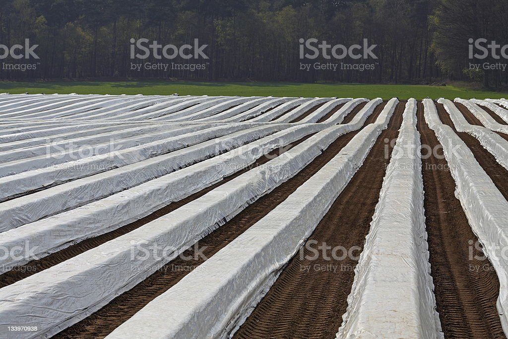 Agriculture of Asparagus. royalty-free stock photo