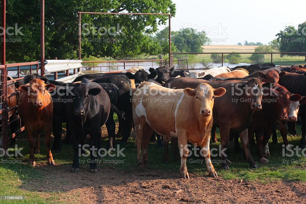 Agriculture: Penned Cattle in cow lot stock photo