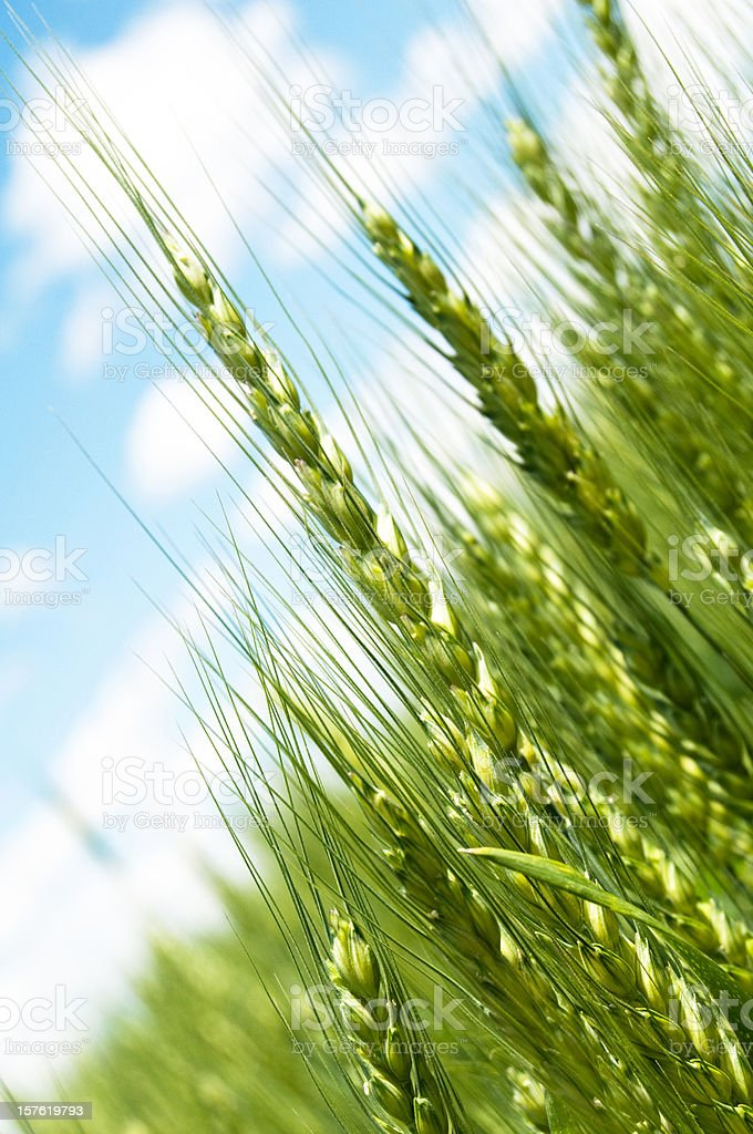 Agriculture, Perfect Grain Field, Sky royalty-free stock photo