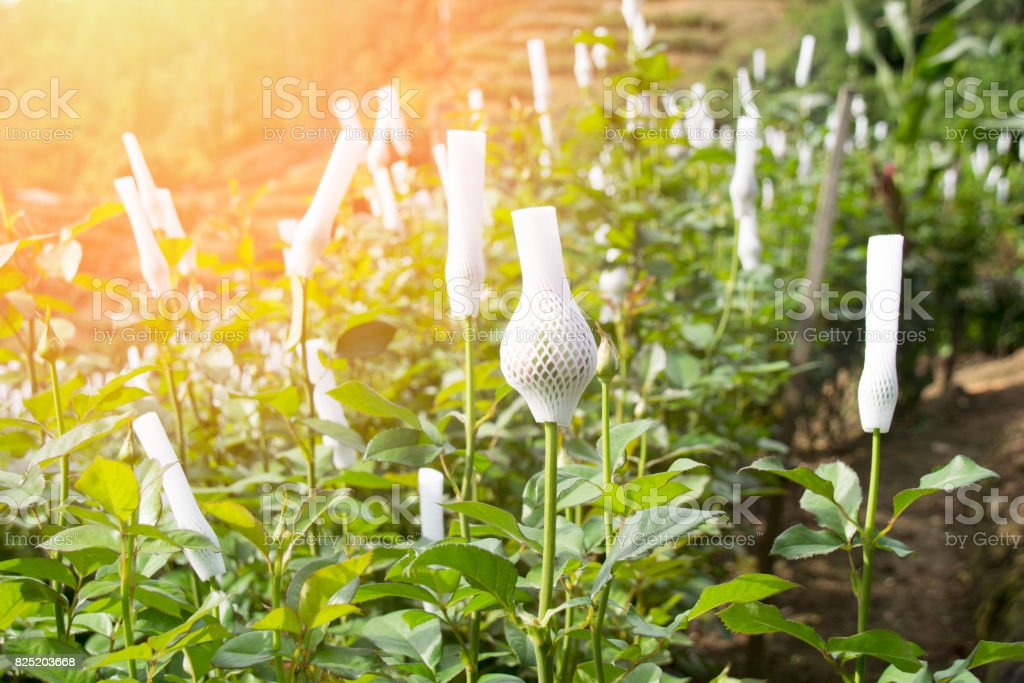 Agriculture - Rose flowers wrapped in foam net in the garden stock photo