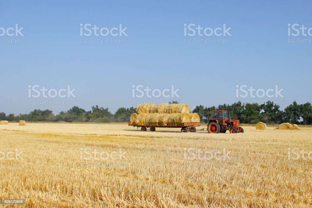 Agriculture - tractor carries a haystack. Tractor with hay. stock photo