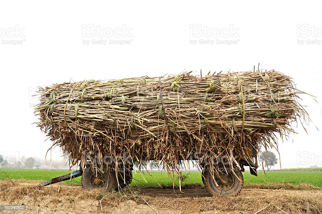 Agriculture Trolley fully loaded with sugarcane crop near green field stock photo