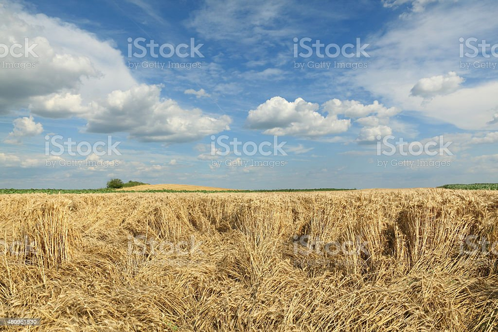 Agriculture, wheat harvest, damaged field stock photo
