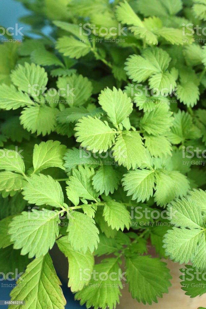 Agrimonia Pilosa Ledeb stock photo