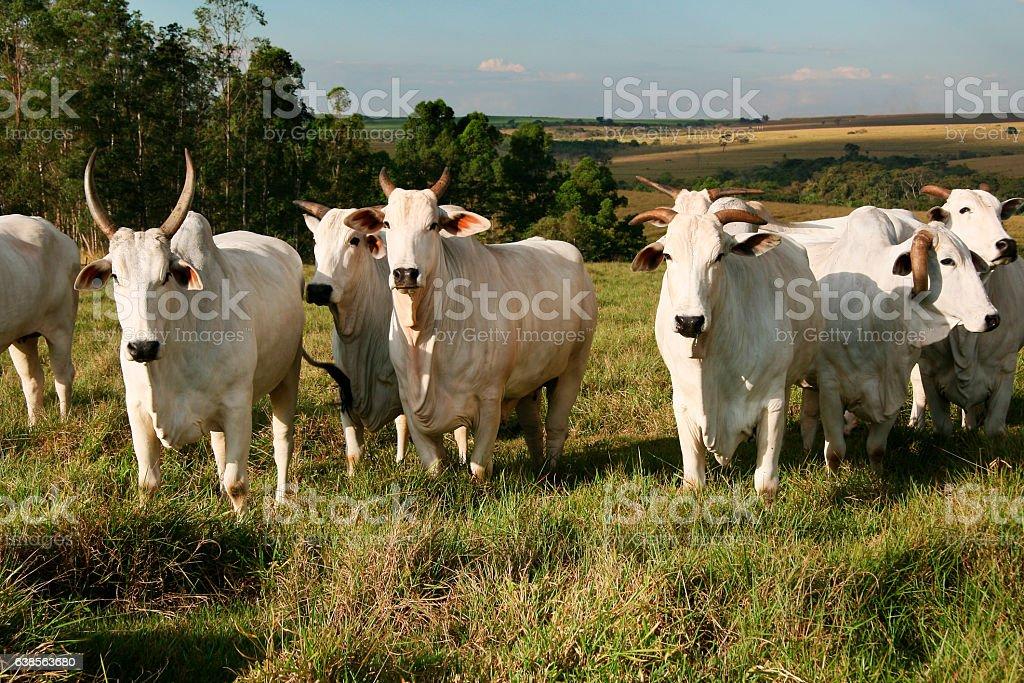 Agro-Fazenda de Boi Nelore stock photo
