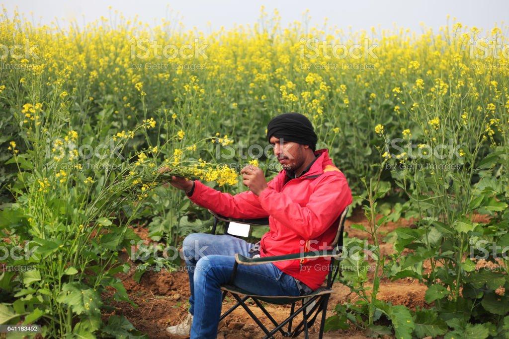 Agronomist checking mustard crop stock photo