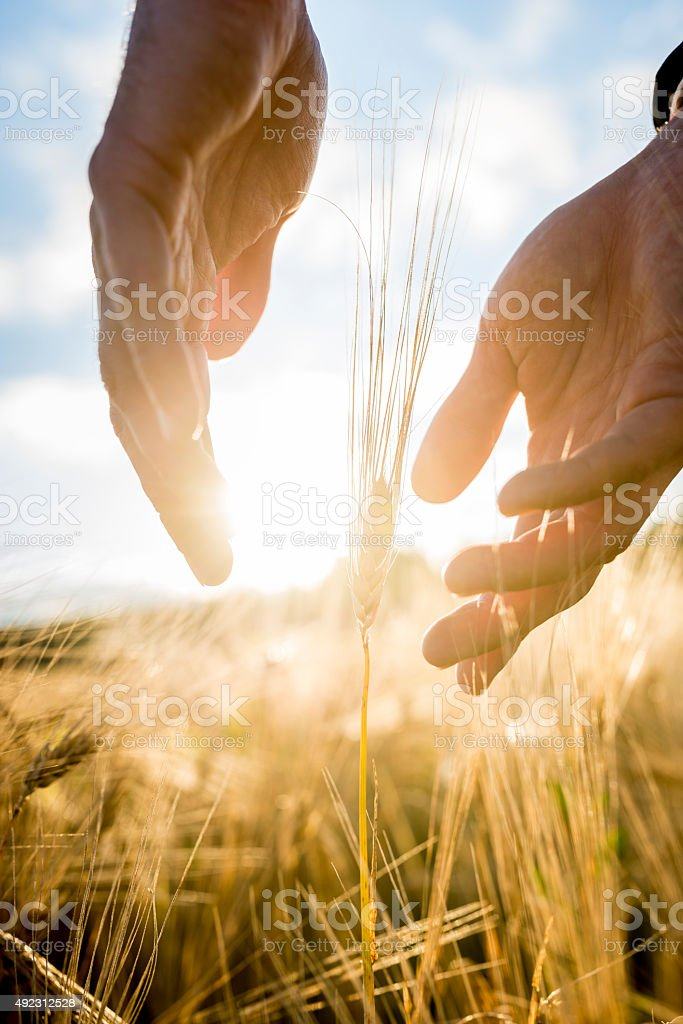 Agronomist cupping his hands around an ear of wheat stock photo
