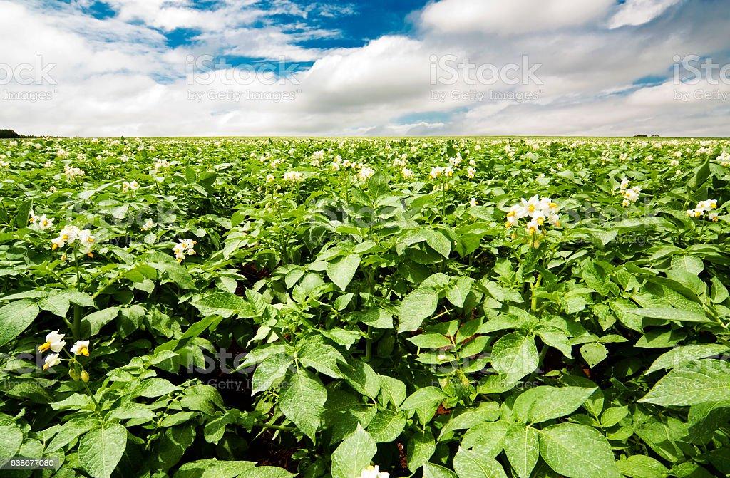 Agro-Plantação de Batata stock photo