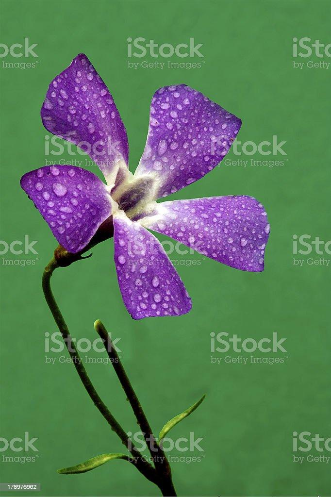 agrostemma githago in green royalty-free stock photo