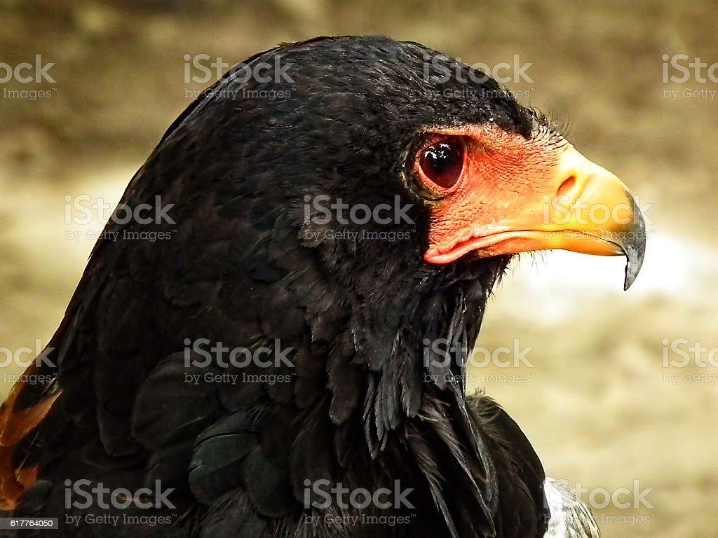 Aguila volatinera stock photo