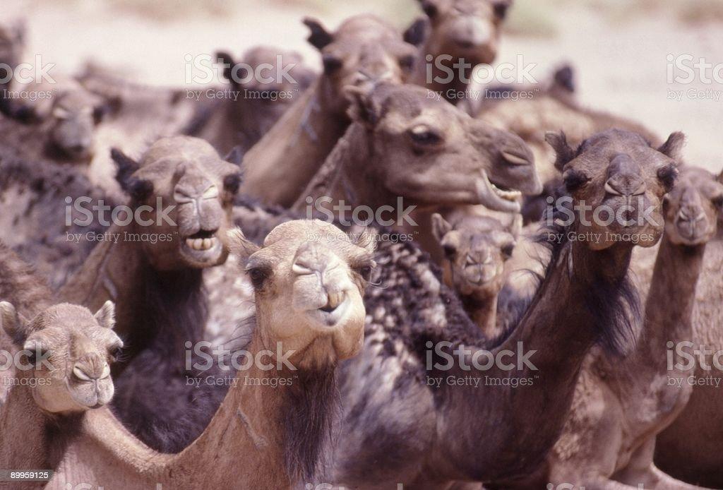 Aha Camels! royalty-free stock photo