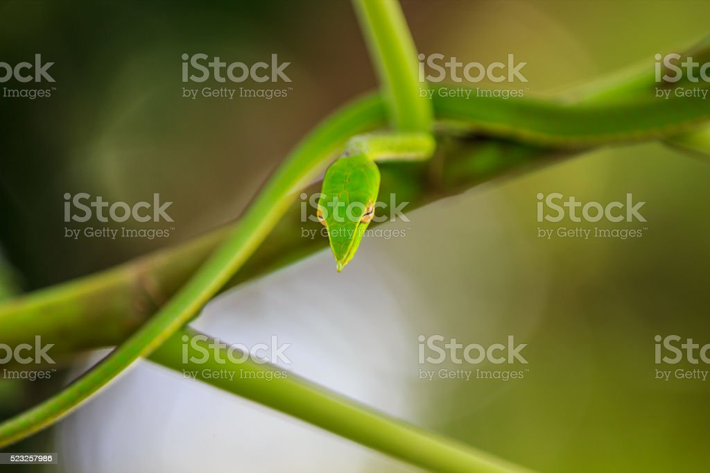 Ahaetulla prasina hunts by hanging from a tree stock photo