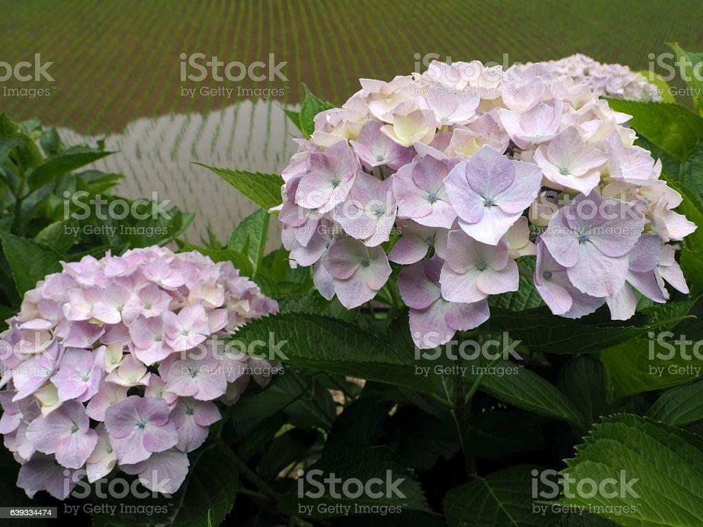a,hydrangea stock photo