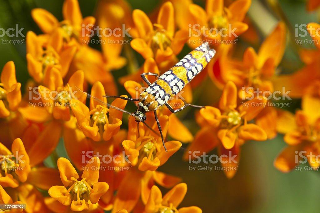 Ailanthus webworm, Atteva aurea stock photo