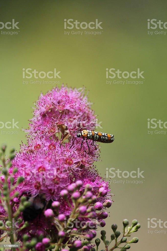 Ailanthus webworm moth on pink flower stock photo