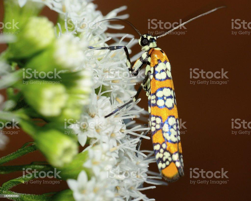 Ailanthus Webworm Moth stock photo