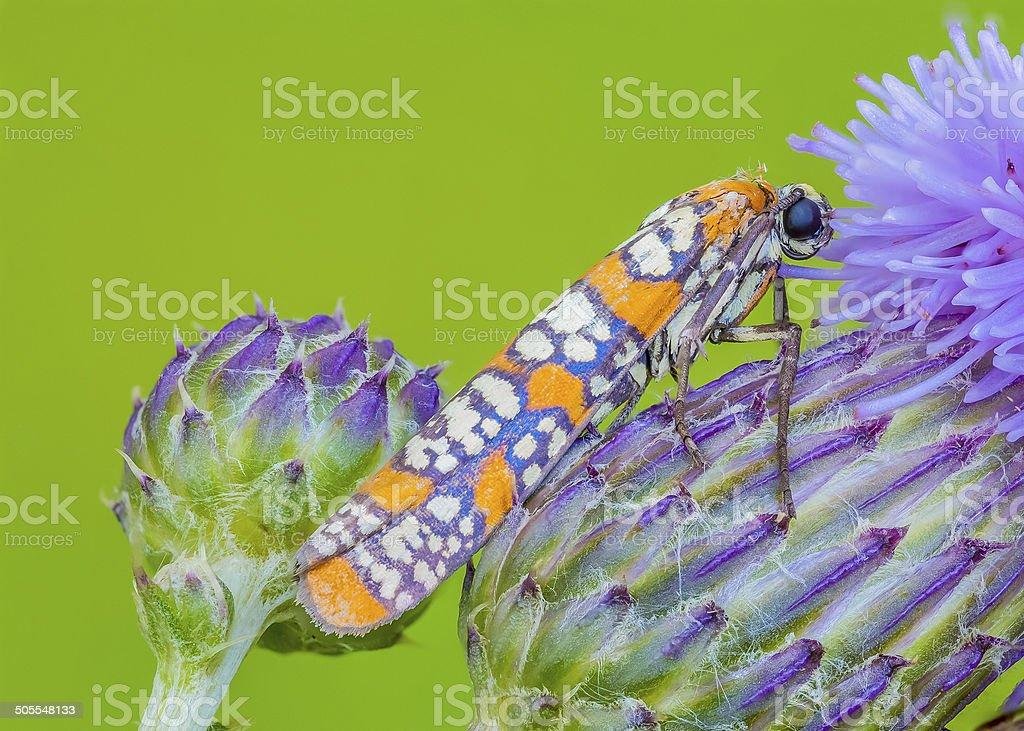 Ailanthus Webworm stock photo