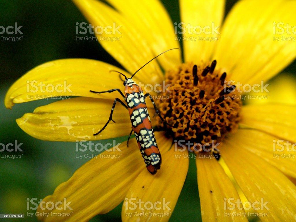 Ailanthus webworm (Atteva punctella) stock photo
