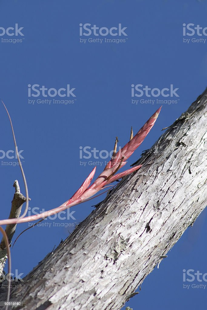 Air Plant in Cypress Tree Crop royalty-free stock photo