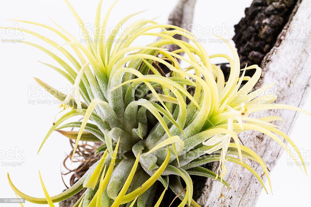 Air root plant on wood, Tillandsia Ionantha Druid stock photo