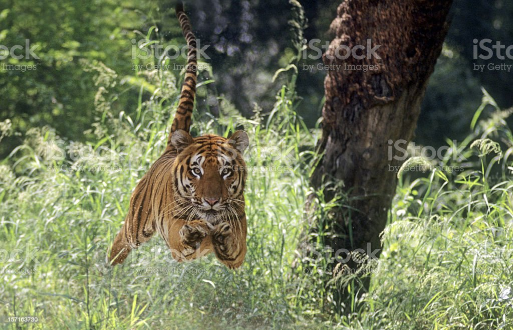 Air-borne Tiger royalty-free stock photo