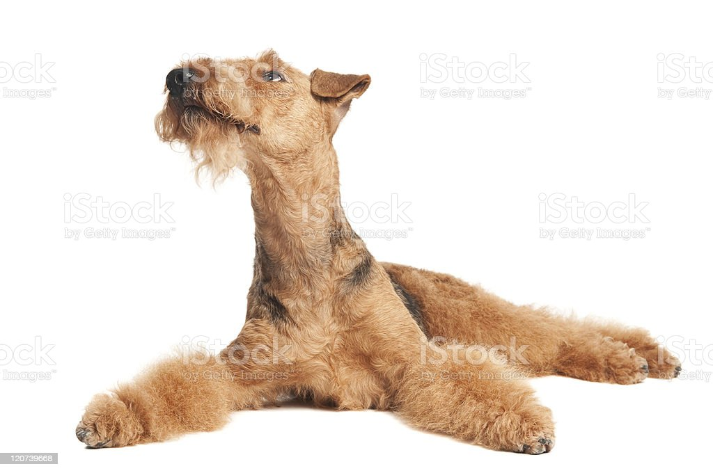 Airedale Terrier dog isolated stock photo