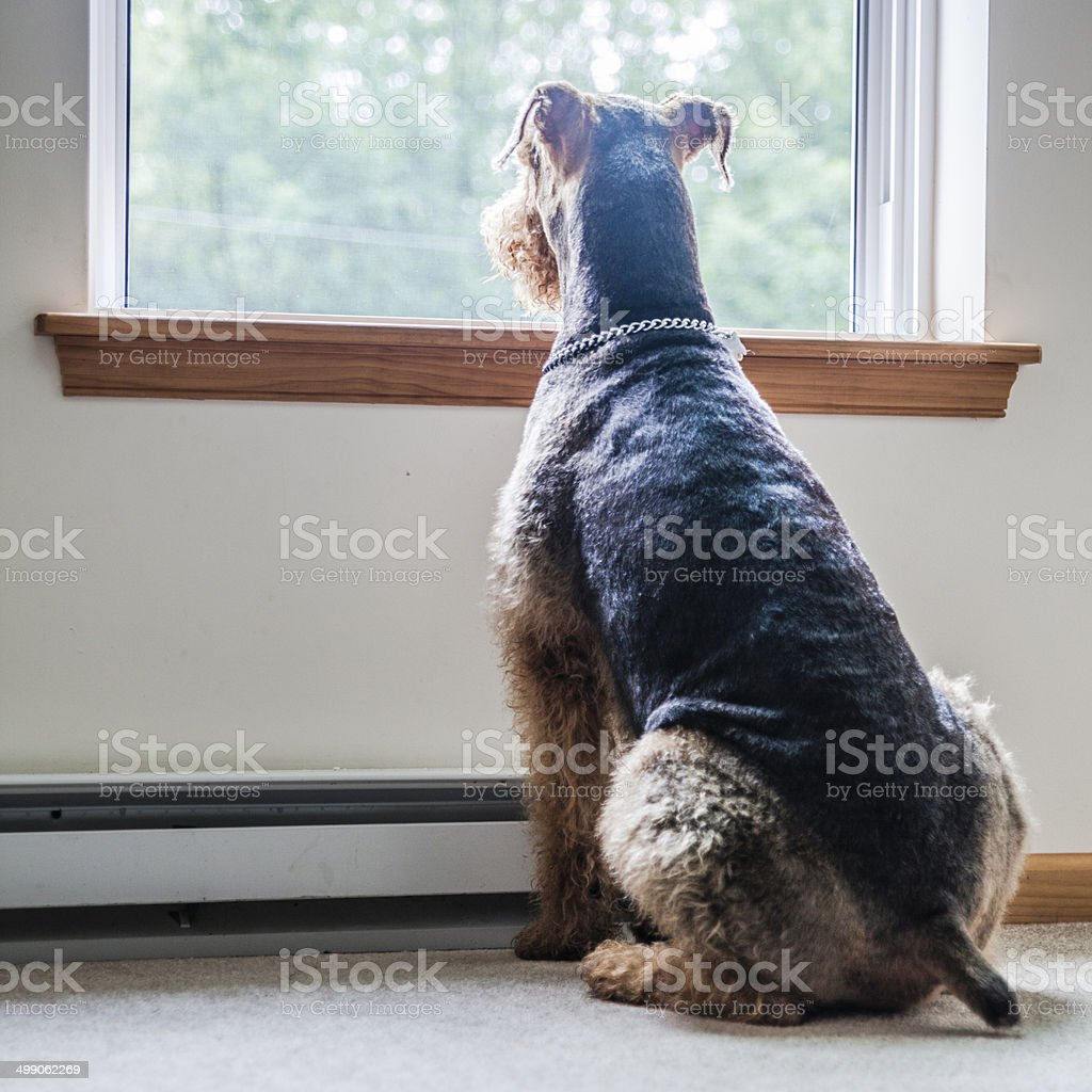Airedale terrier dog looking through window stock photo