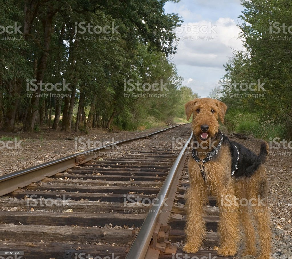 Airedale terrier dog outdoors on an abandoned railroad track stock photo