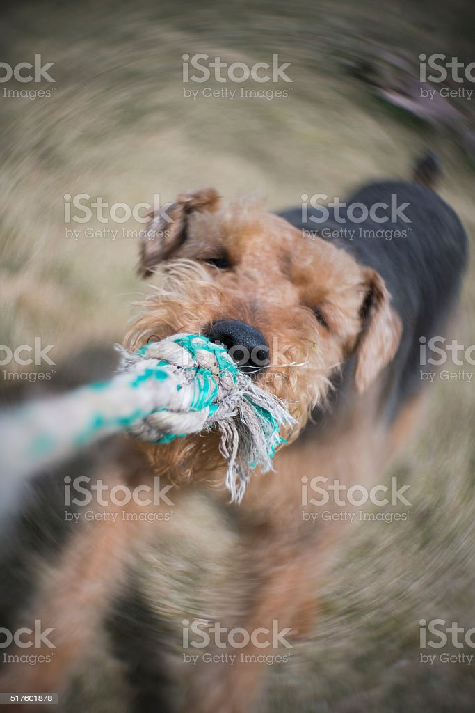 Airedale terrier dog playing tug of war on the backyard stock photo