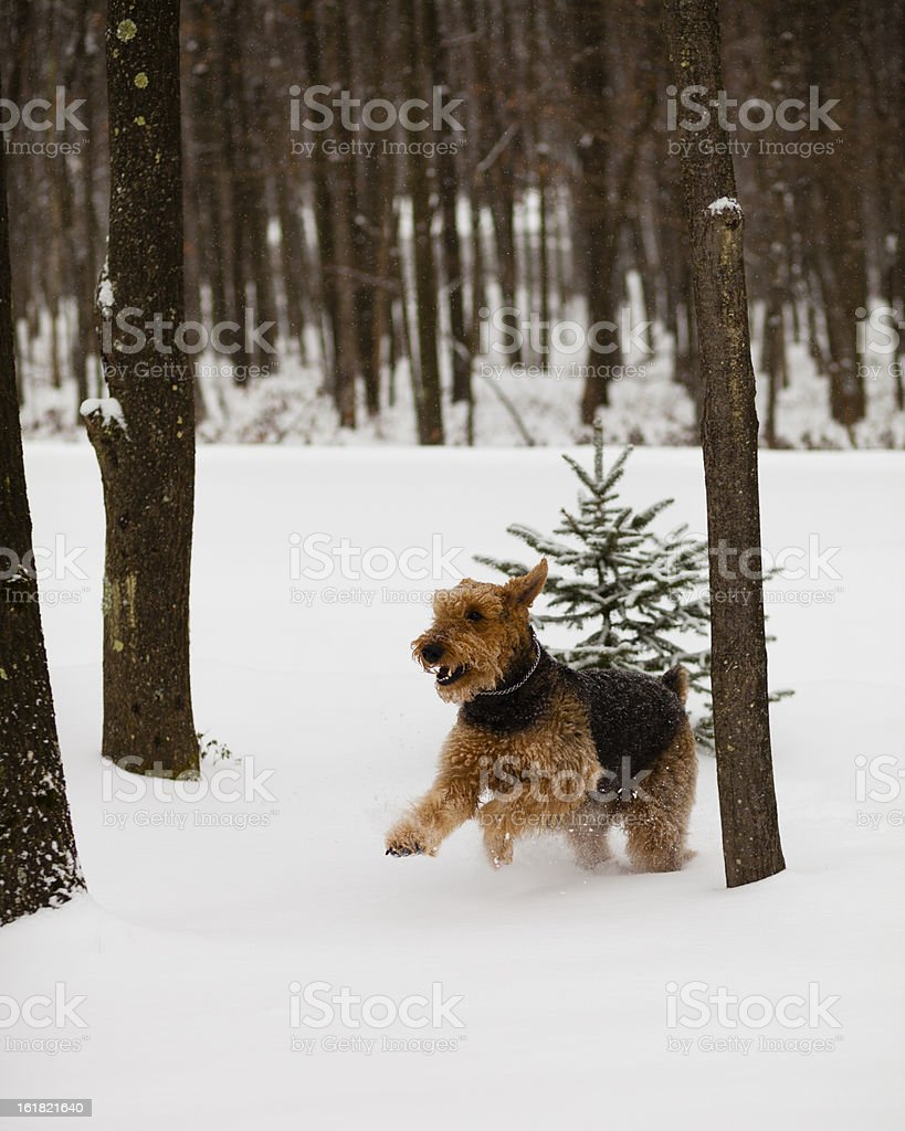 Airedale terrier dog run in snow royalty-free stock photo