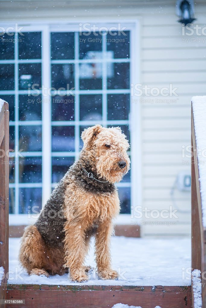 Airedale terrier dog sitting under snowfall at the desk royalty-free stock photo