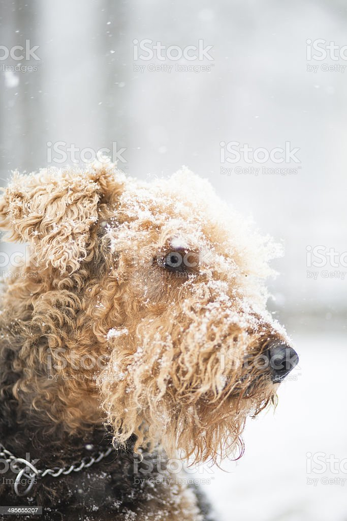 Airedale terrier dog under snowfall royalty-free stock photo