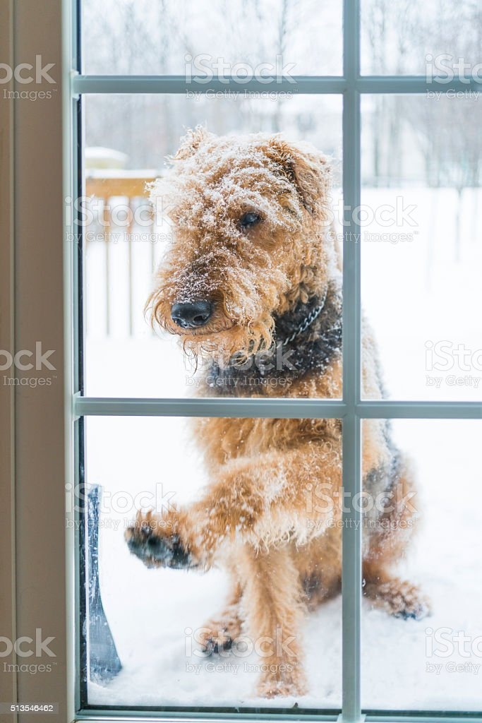 Airedale terrier dog waiting outdoor before the glass door stock photo