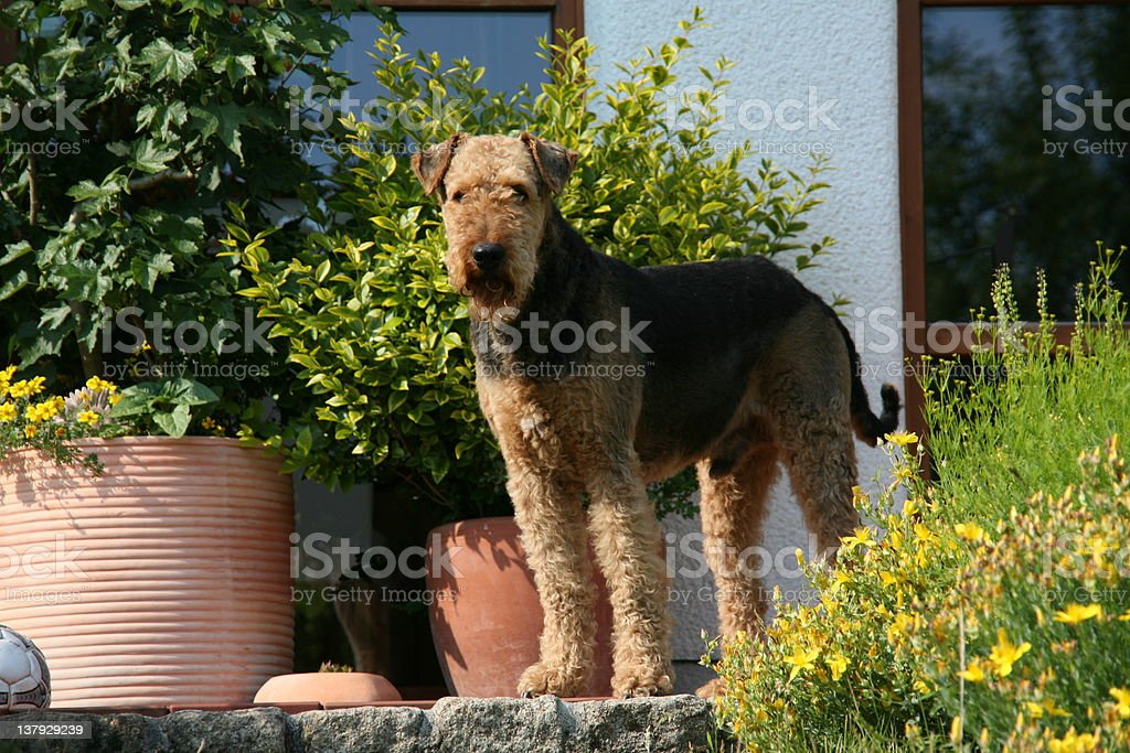 Airedale Terrier (Dog) on a terrace stock photo