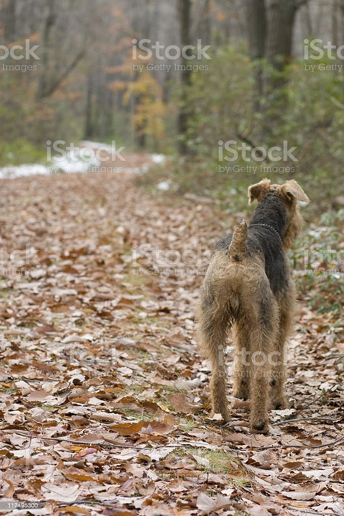Airedale terrier on the forest's trail stock photo