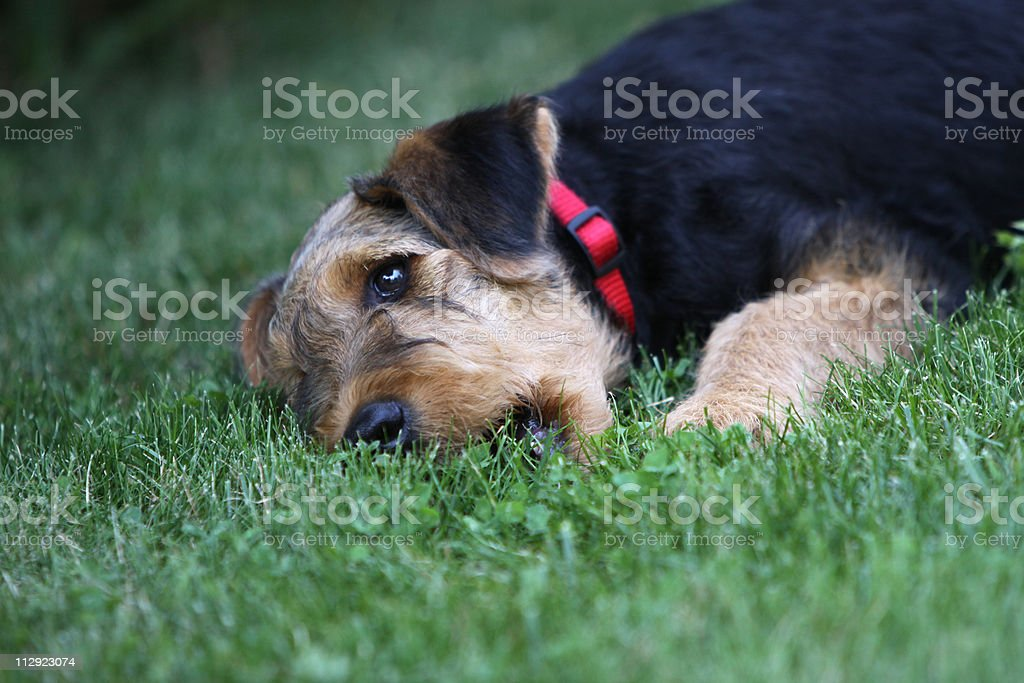 Airedale Terrier (Puppy) stock photo
