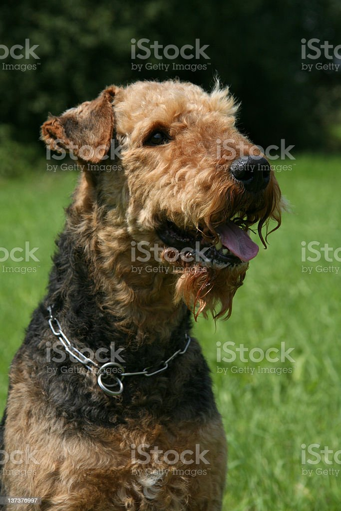Airedale Terrier (Dog) stock photo