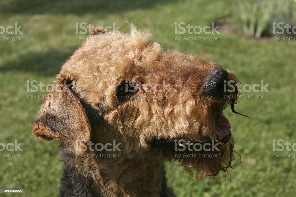 Airedale Terrier stock photo
