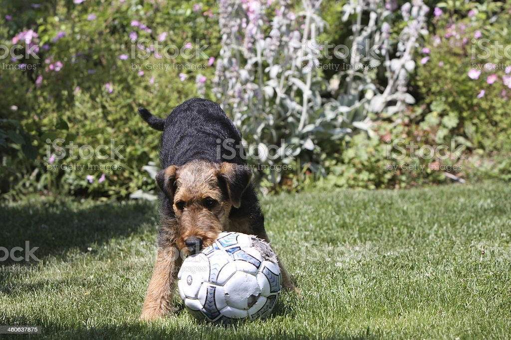 Airedale Terrier Puppy stock photo