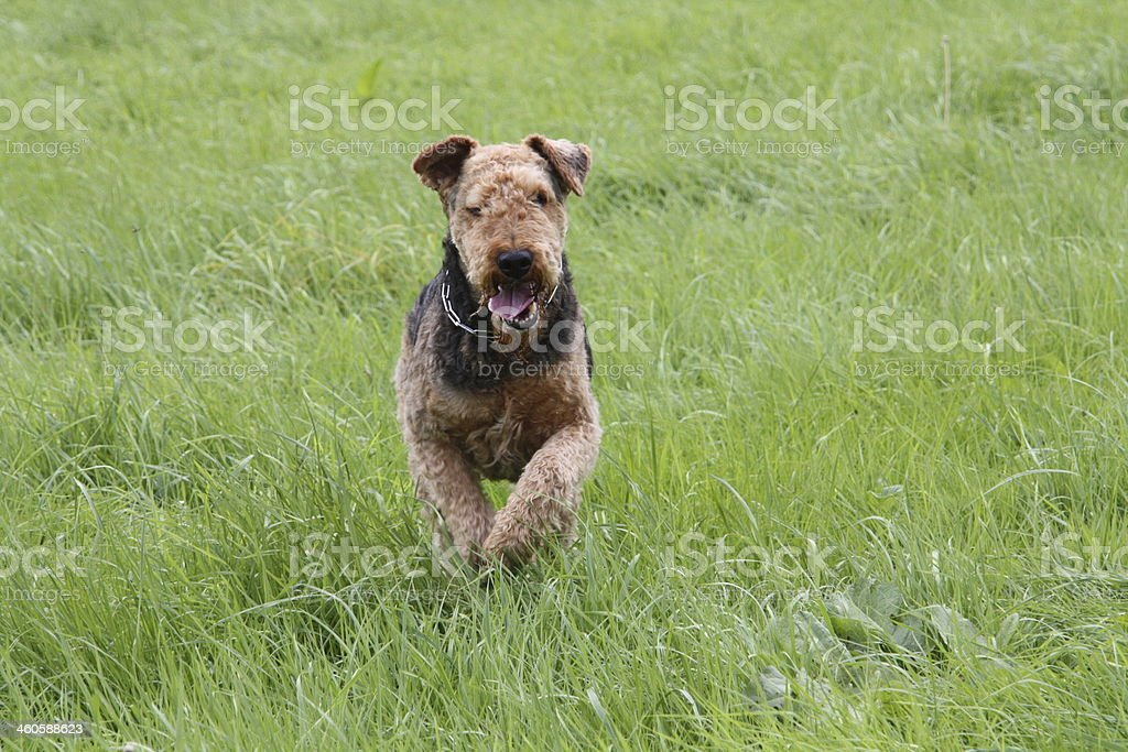 Airedale-Terrier stock photo