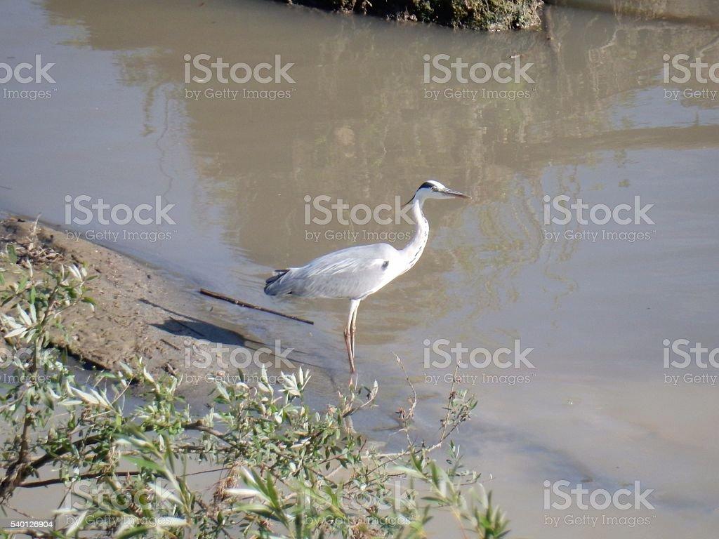Airone sul fiume stock photo