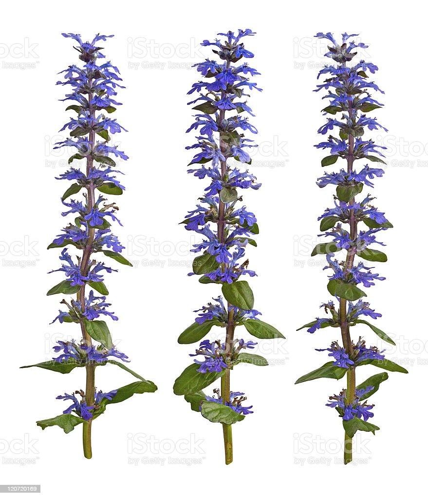 Ajuga Flower isolated on white stock photo