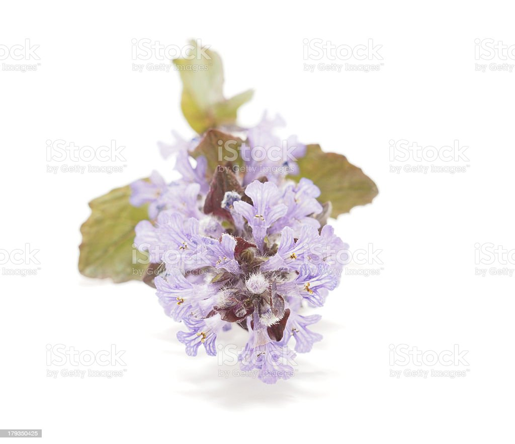 Ajuga Flower on a white background stock photo
