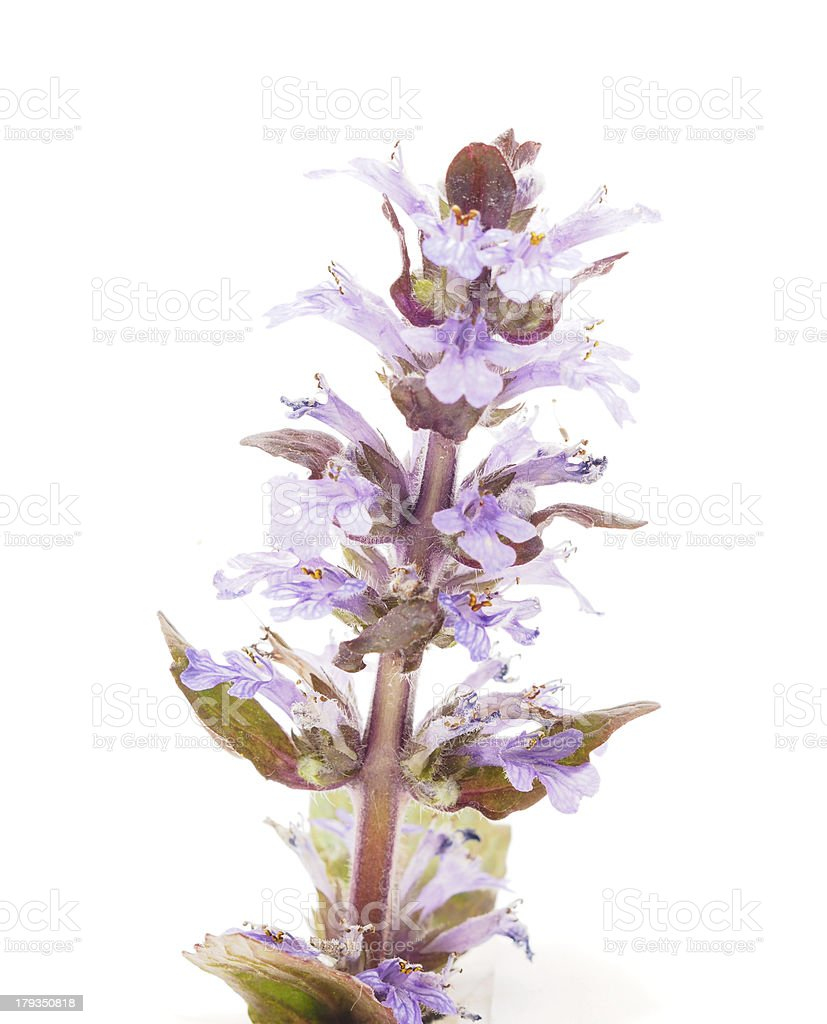 Ajuga Flower on a white background royalty-free stock photo