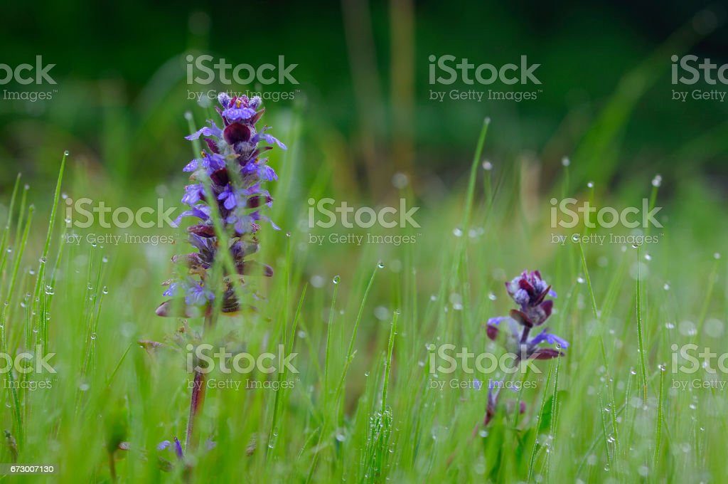 Ajuga stock photo