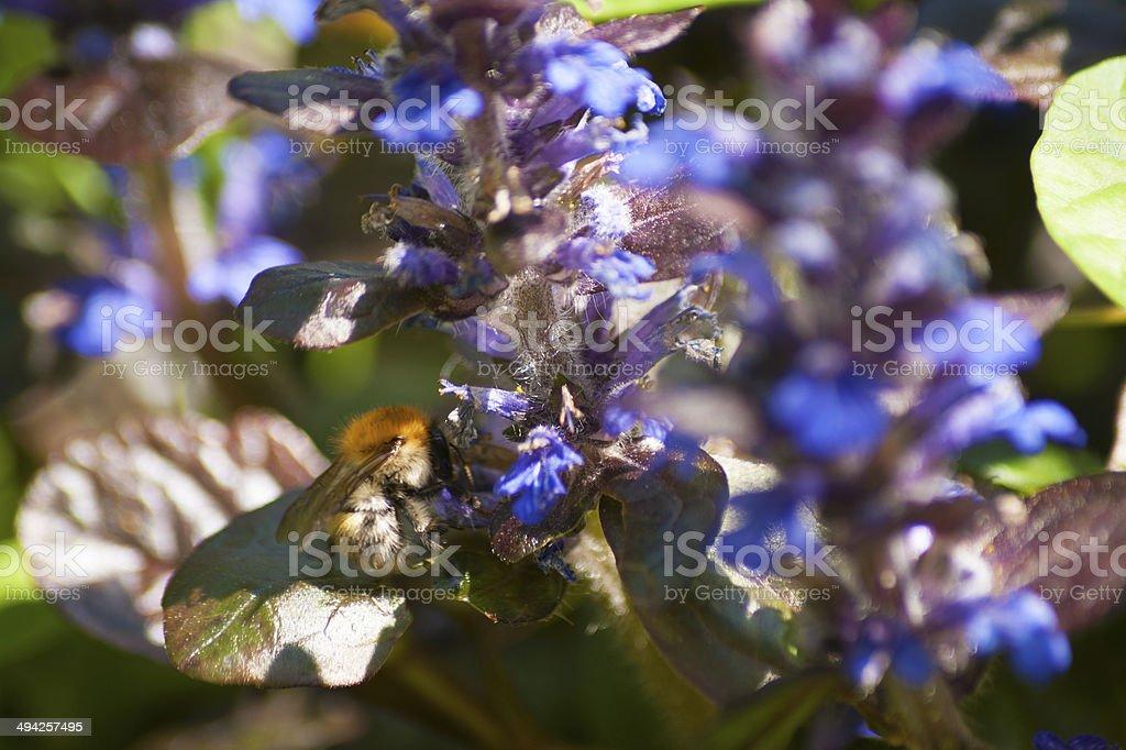 Ajuga reptans and bee stock photo