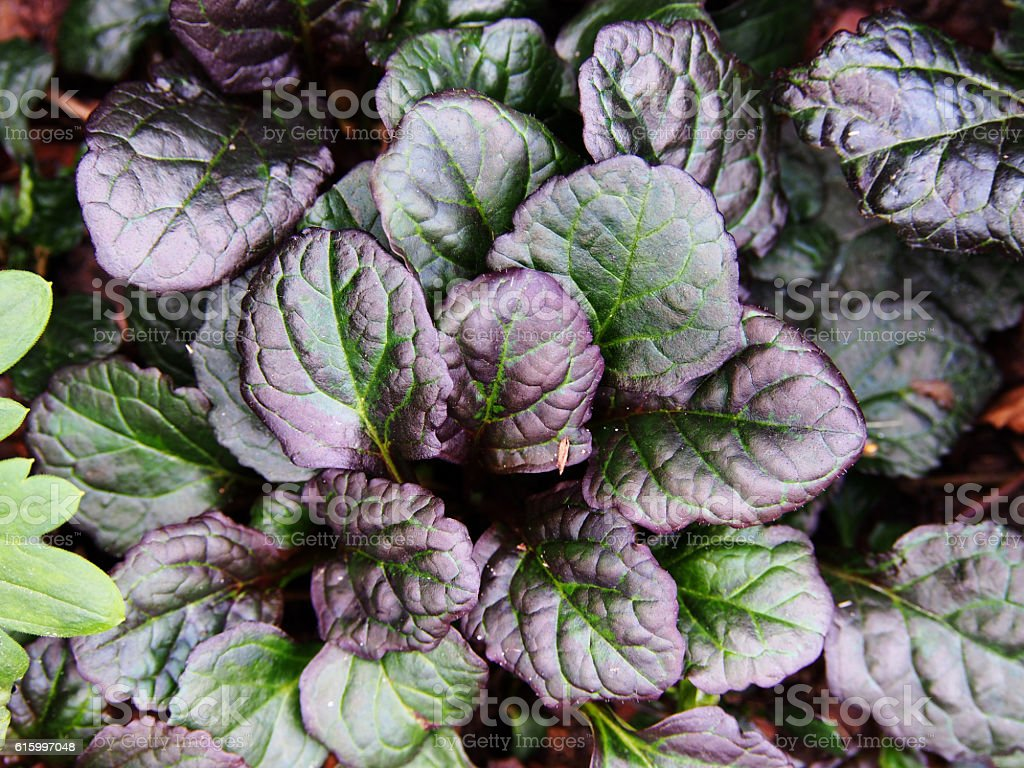 Ajuga reptans 'Catlin's Giant' stock photo