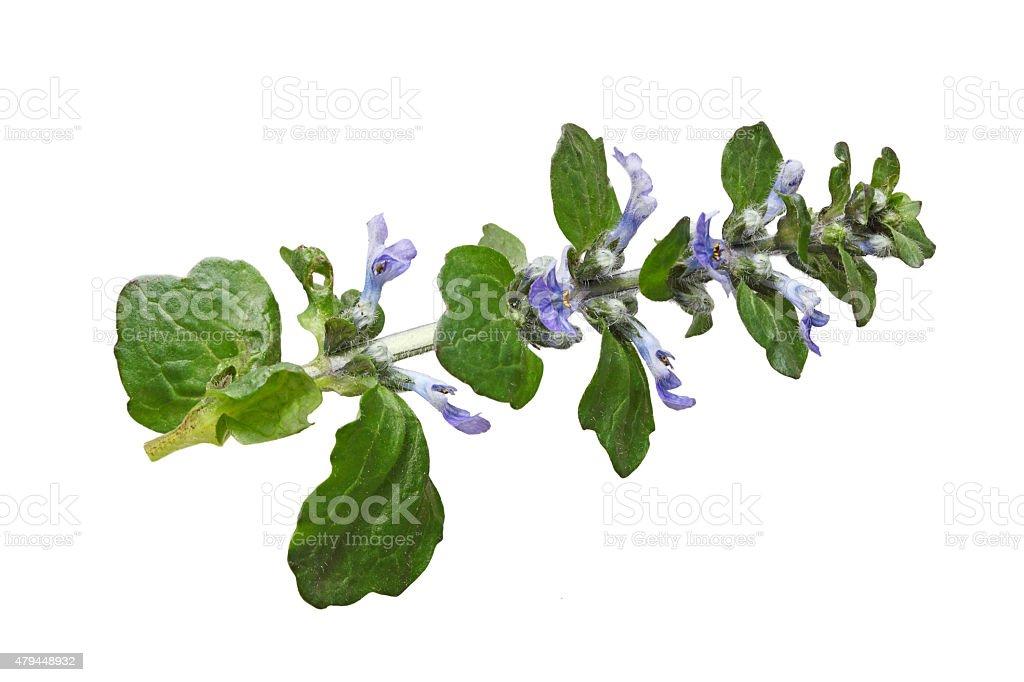 Ajuga reptans flower stock photo
