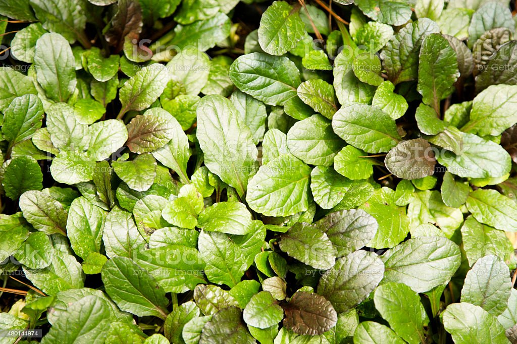 Ajuga Reptans ground cover in an outdoor flower bed. Summer. stock photo